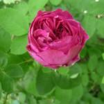 wilde rozen in de tuin
